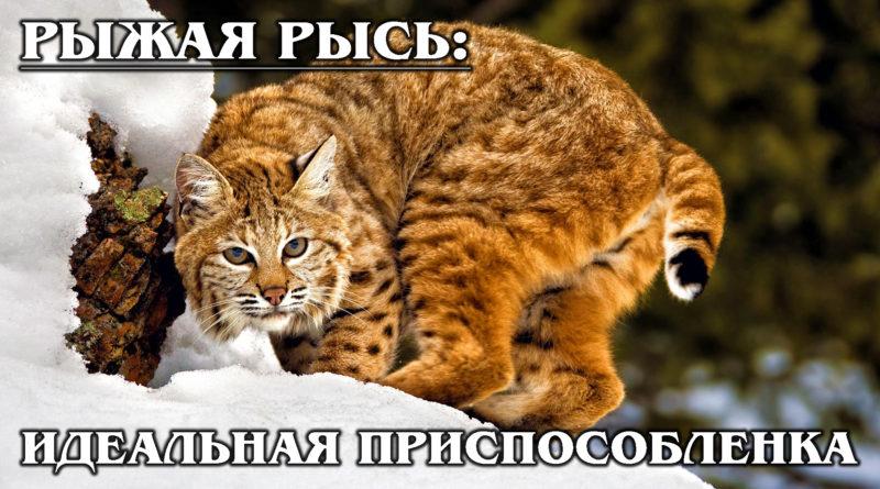 РЫЖАЯ РЫСЬ: Кошачий эксперт по выживанию в Америке - BobCat