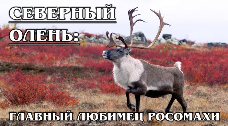 СЕВЕРНЫЙ ОЛЕНЬ: Любимец росомахи с красивыми рогами | Интересные факты о северном олене