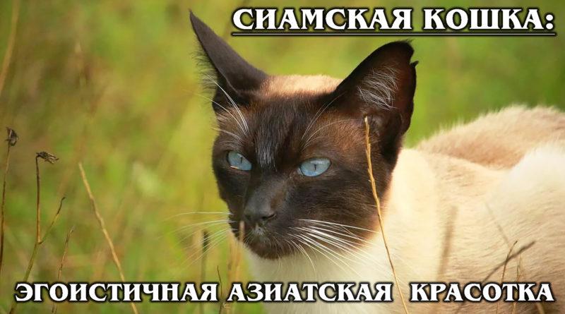 СИАМСКАЯ КОШКА: Своенравная красавица из Тайланда |Интересные факты о сиамских кошках