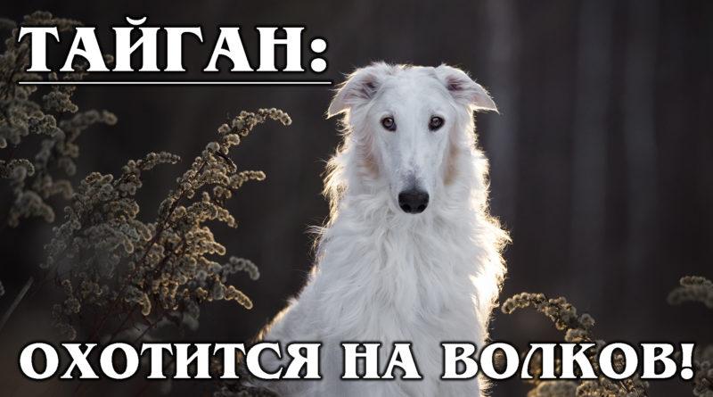 ТАЙГАН: Охотник за волками! Уникальная древняя порода киргизских борзых собак | Факты о собаках
