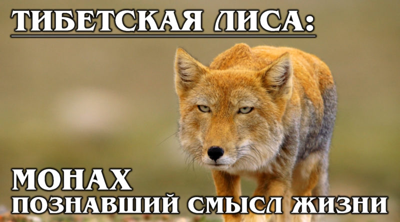 ТИБЕТСКАЯ ЛИСИЦА: Любительница пищух с квадратной головой | Интересные факты о лисицах