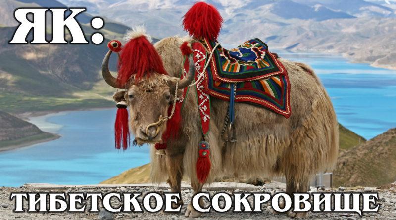 ЯК: Хрюкающий бык - главное животное Тибета | Интересные Факты о быках