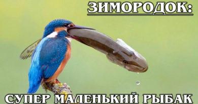 ЗИМОРОДОК: Русская колибри и настоящий СУПЕР рыболов | Интересные факты о зимородке и птицах