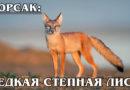 КОРСАК: Редкая азиатская степная лисица с красивой шубкой | Интересные факты о лисах