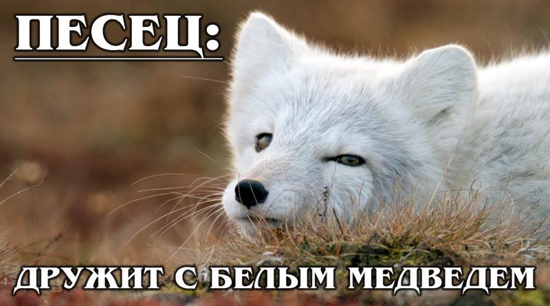ПЕСЕЦ: Искусство выживания в Арктике и дружба с белым медведем от полярной лисицы