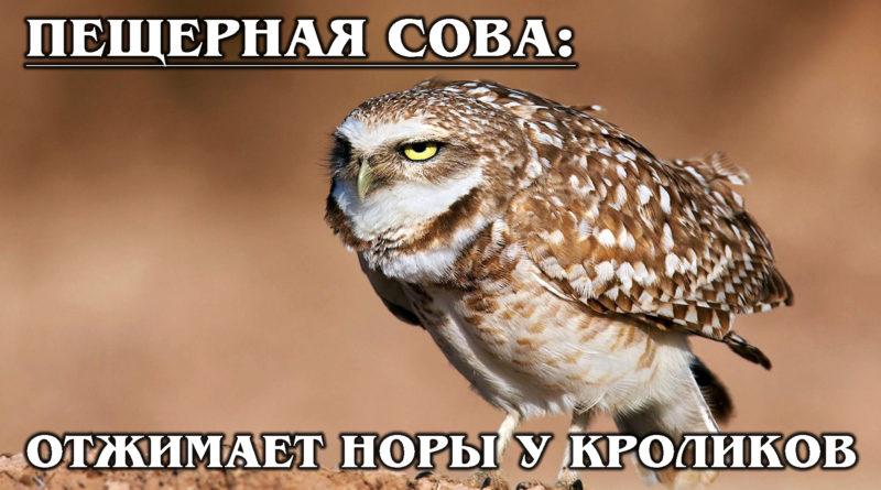 КРОЛИЧИЙ СЫЧ: Нарушает все правила сов – живёт стаями под землей и охотится днём | Интересные факты о совах