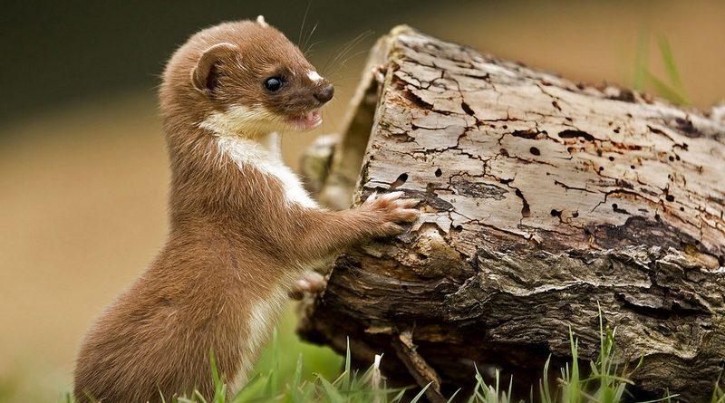 ЛАСКА: Самый маленький убийца в Мире Животных. Интересные Факты о ласке