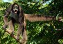Паукообразная обезьяна: Примат с тремя ногами и руками