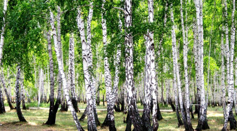 БЕРЁЗА: Лесная невеста | Интересные факты о березах и флоре планеты | Энциклопедия растений