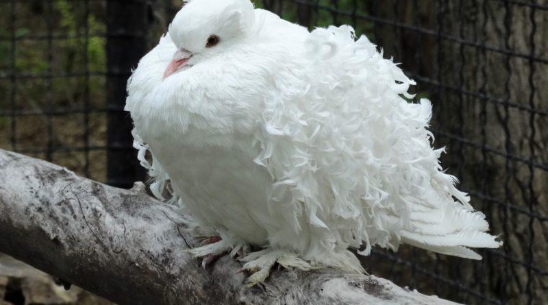 Кудрявый голубь: Красиво или нет?