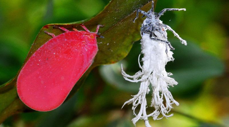 Розовая цикада: Зачем им хвастики?