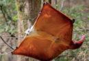 Гигантская тагуана: Очень большая белка-летяга