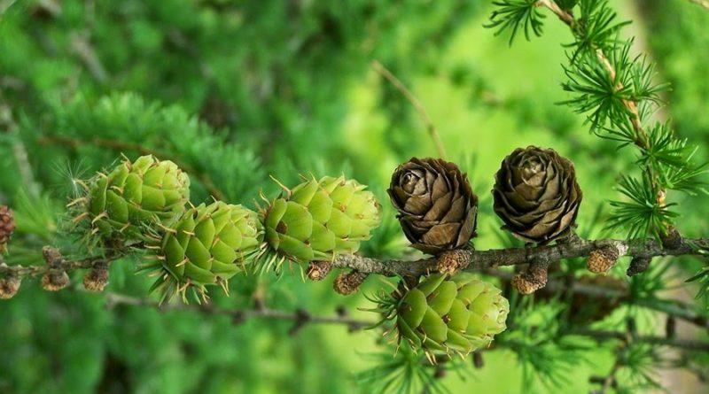 ЛИСТВЕННИЦА: Главный символ Сибири | Интересные факты о деревьях | Энциклопедия растений