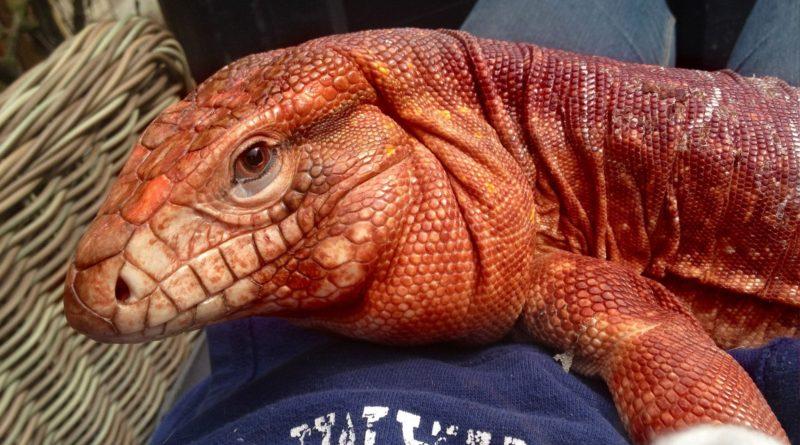 Красный тегу: Опасный зверь или милый домашний питомец?