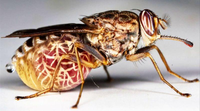 Муха-Цеце: Секрет легендарной мухи-убийцы