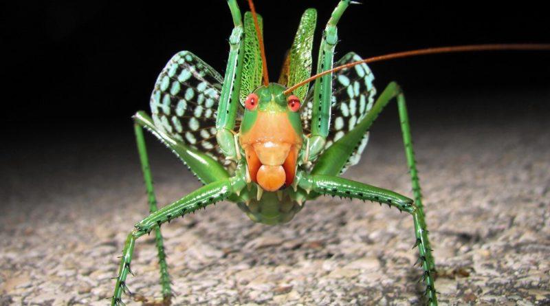 Дьявольский красноглазый кузнечик: Страх и ненависть в насекомом