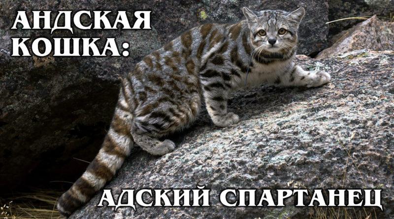 АНДСКАЯ КОШКА: Суровая и загадочная маленькая высокогорная кошка | Интересные Факты про кошек