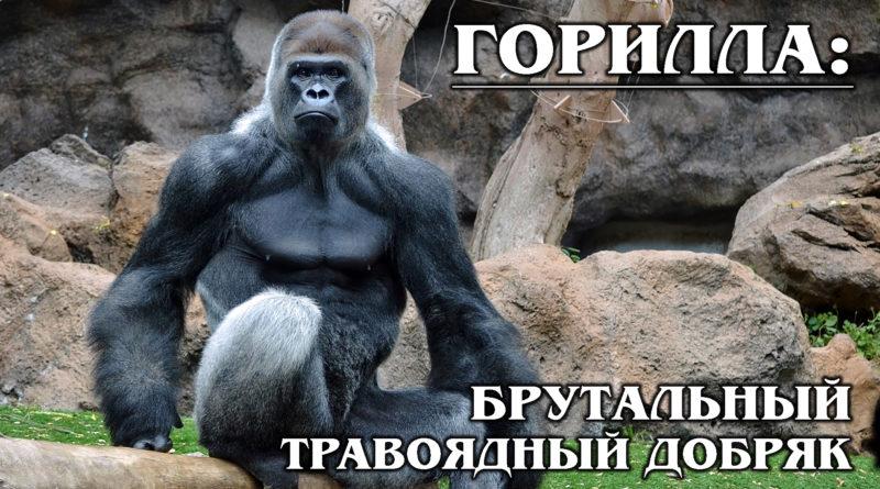 ГОРИЛЛА: Добрый и сильный гигант из мира обезьян | Интересные факты про горилл и приматов