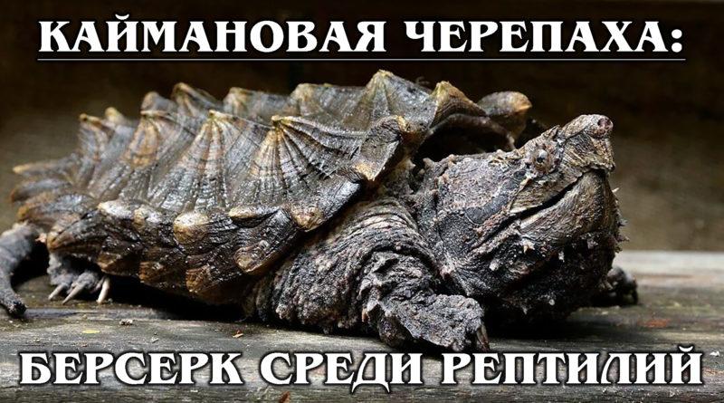 КАЙМАНОВАЯ ЧЕРЕПАХА: Кусающая рептилия опаснее, чем крокодил | Интересные факты про черепах