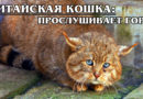 КИТАЙСКАЯ (ГОРНАЯ) КОШКА: Редкая отшельница с великолепным слухом | Интересные факты про кошек