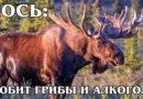 ЛОСЬ: Рогатый гладиатор, которого может победить только медведь | Интересные факты про лосей