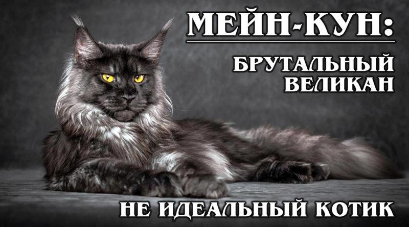 МЕЙН-КУН: Мини-рысь и брутальный великан в одном флаконе | Плюсы и Минусы мейн-кунов | Интересные факты о кошках