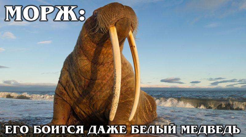 МОРЖ: Тюлень с огромными бивнями и очень толстой шкурой | Интересные факты про моржей и животных