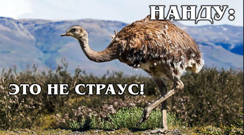 НАНДУ: Американский страус, который воспитывает детей без матери | Интересные факты о нанду и страусах