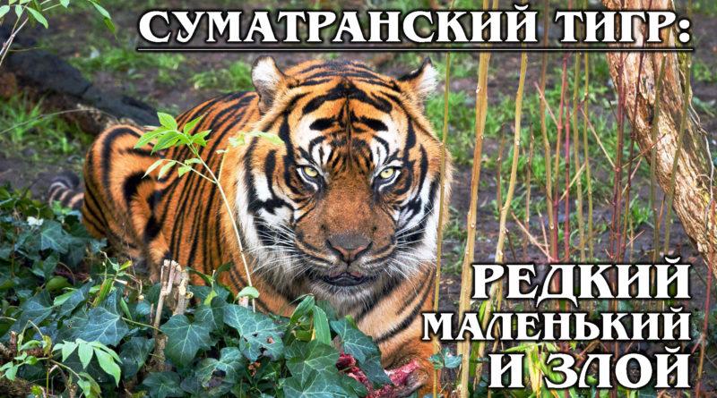 СУМАТРАНСКИЙ ТИГР: Редкий и самый маленький тигр – эндемик острова Суматра | Интересные факты про тигров