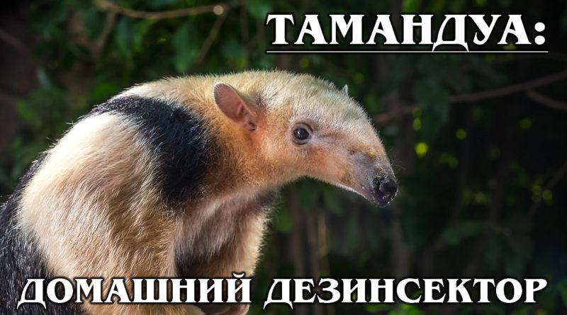 ЧЕТЫРЕХПАЛЫЙ МУРАВЬЕД: Тамандуа или лесной «вонючка» | Интересные факты о муравьеде