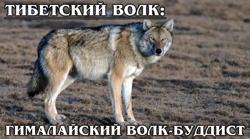ТИБЕТСКИЙ ВОЛК: Гималайский волк охотится только на дичь | Интересные факты о волках