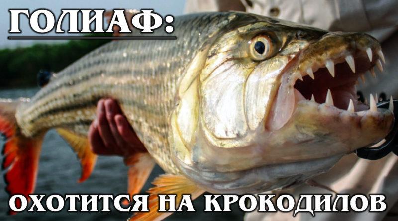 БОЛЬШАЯ ТИГРОВАЯ РЫБА: Голиаф - речной монстр! Рыба, которая ест крокодилов | Интересные факты про хищных рыб