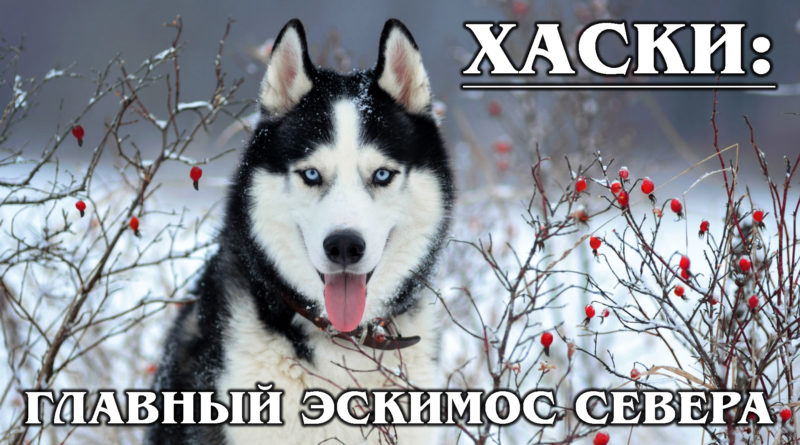 СИБИРСКИЙ ХАСКИ: Самая быстрая ездовая порода собак и родственник Акита-ину | Интересные факты про собак