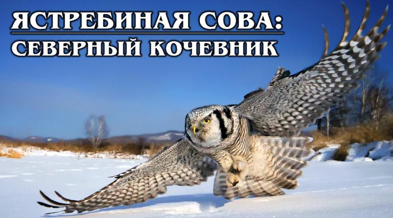 ЯСТРЕБИНАЯ СОВА: Нетипичная сова - северный кочевник и любительница полевок | Интересные факты о совах