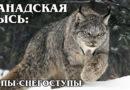 КАНАДСКАЯ РЫСЬ: Дикая кошка с огромными лапами | Интересные Факты про рысей и кошек