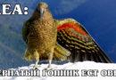 КЕА: Пернатый Эйнштейн и «клоун гор» с токсичным характером ест овец | Интересные факты про попугаев