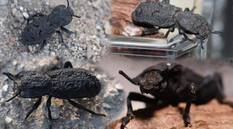 Дьявольский жук-броненосец: Может выдержать давление в 39 000 раз больше своего веса