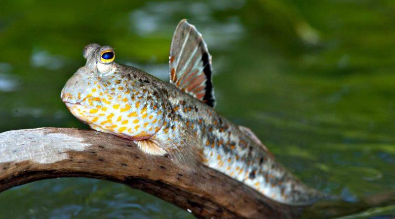 Илистый прыгун: Наглядный пример эволюции - Как рыба вышла на сушу
