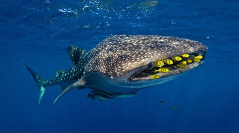 Китовая акула: Жатва Левиафана