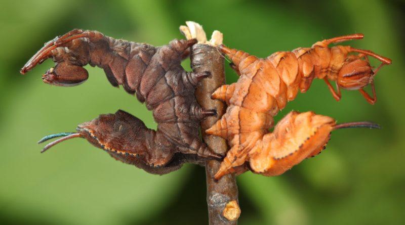 Буковый вилохвост: Очень страшная гусеница