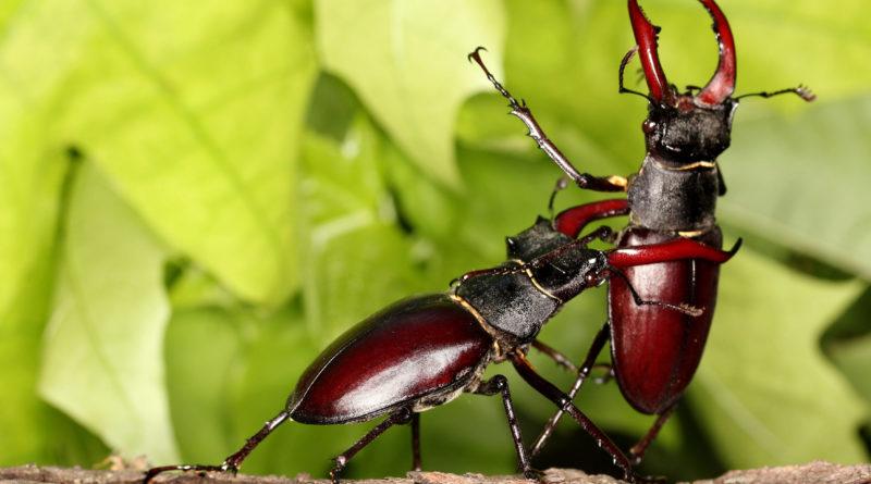 Жук-олень: Крупнейший жук живёт 8 лет