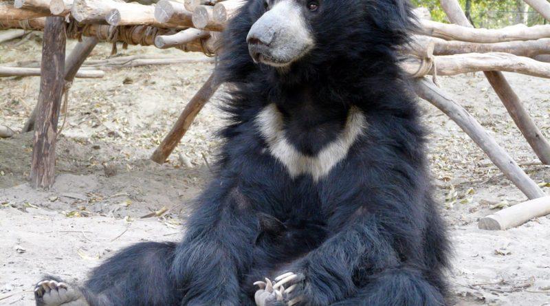 Губач: Маленький индийский медведь