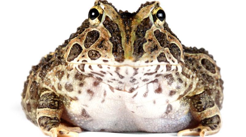 Украшенная рогатка: Лягушка, которая может откусить Ваш палец