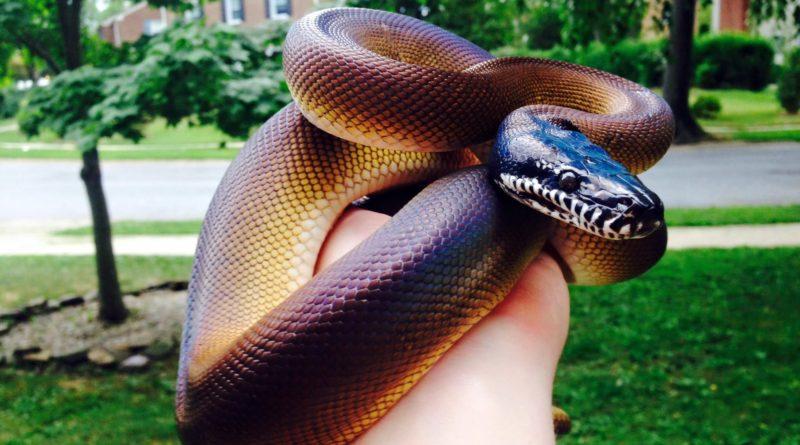 Белогубый питон: Невидимая ночью змея, но сверкающая днём