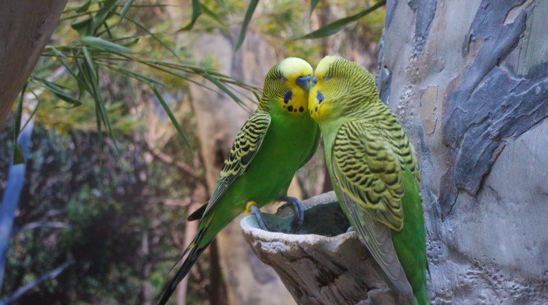 Волнистый попугайчик: Каков он в дикой природе?