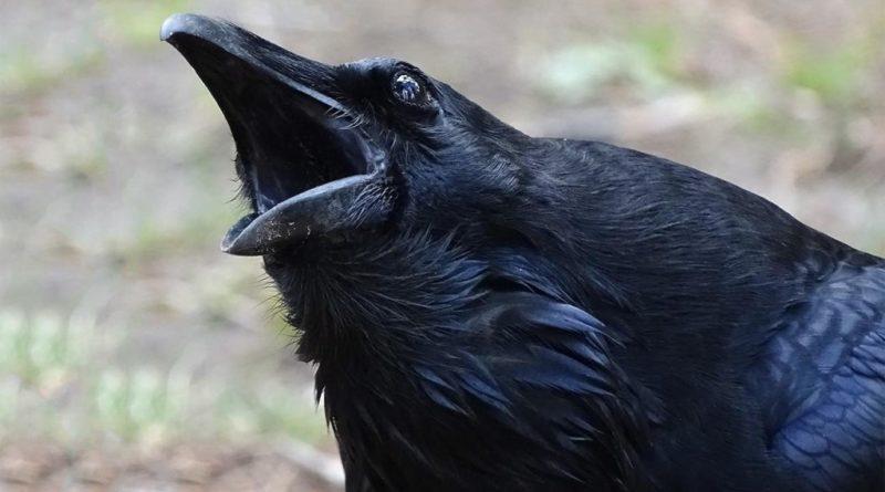 ВОРОНА: Умная и хитрая птица - Главная бандитка и санитар всех городов | Интересные факты о воронах