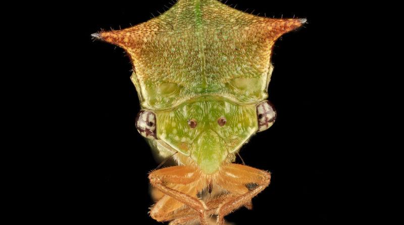 Буйвол-горбатка: Вредитель Нового Света уничтожает растения Европы