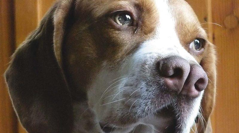 Каталбурун: Уникальный охотничий пёс из Турции