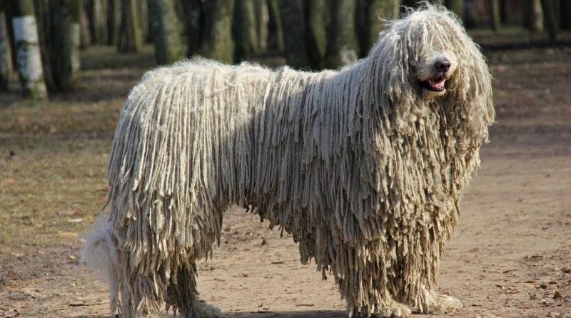 Пули: Порода собак с дредами вместо шерсти