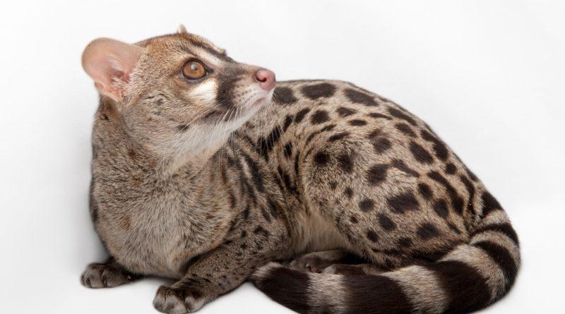 Генета: Раньше она заменяла людям кошек